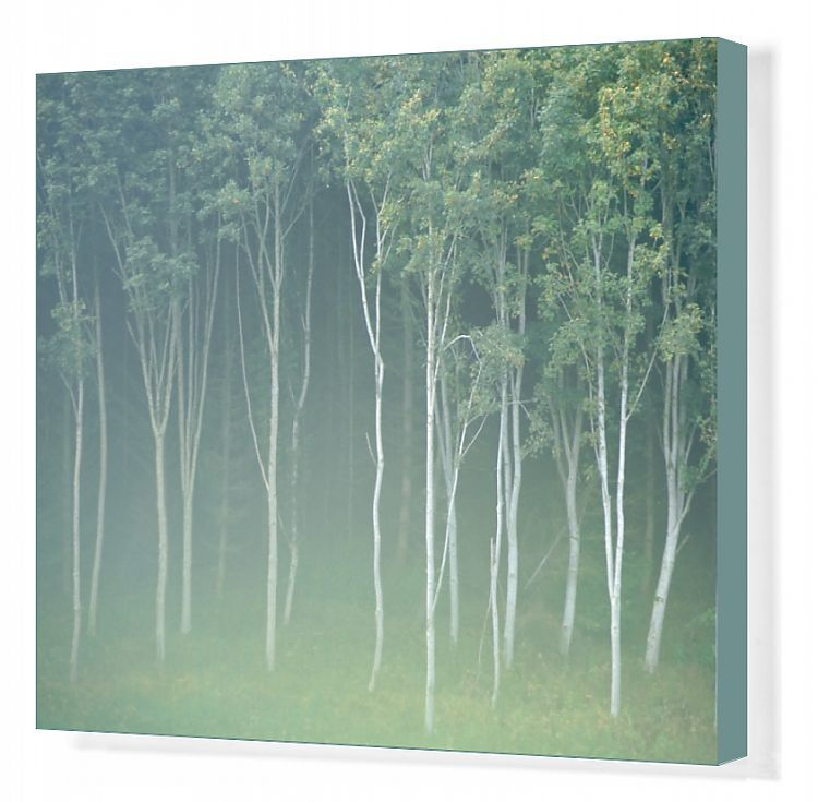 Canvas Print-Silver birch trees near Contin-20