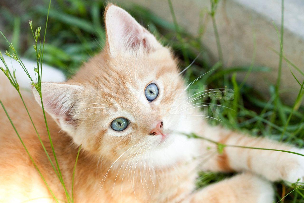 Amazing bluegreen eyes! - Pet Photography - Cat Photography - Kitten Photo Shoot