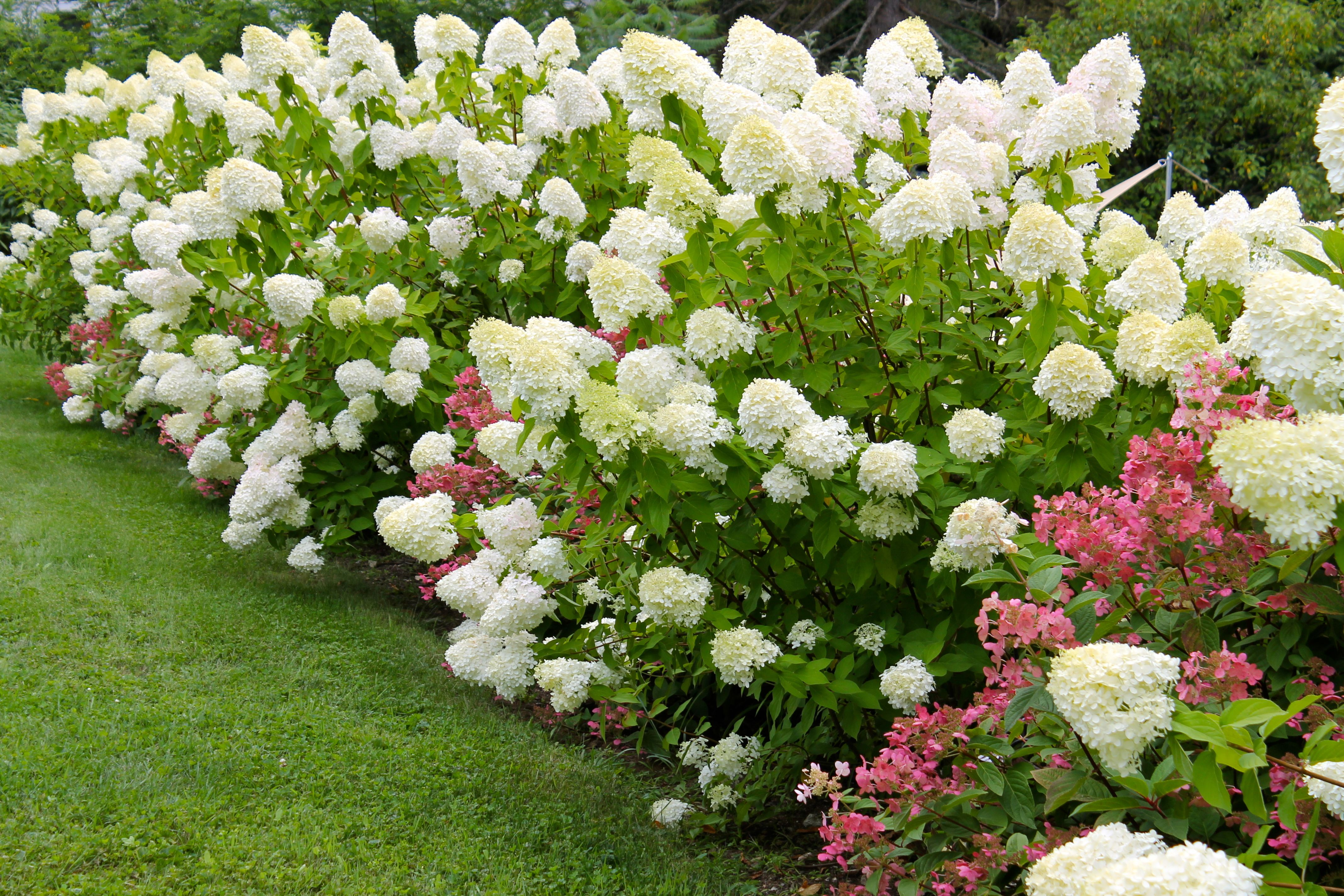 A Wall Of Limelight Hydrangeas Planted Together With Firelight Hydrangea Make A Fabulous Plant Combination Planting Hydrangeas Limelight Hydrangea Plants