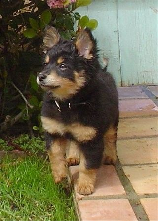 Pomapoo That Looks Like A German Shepherd Puppy Breeds