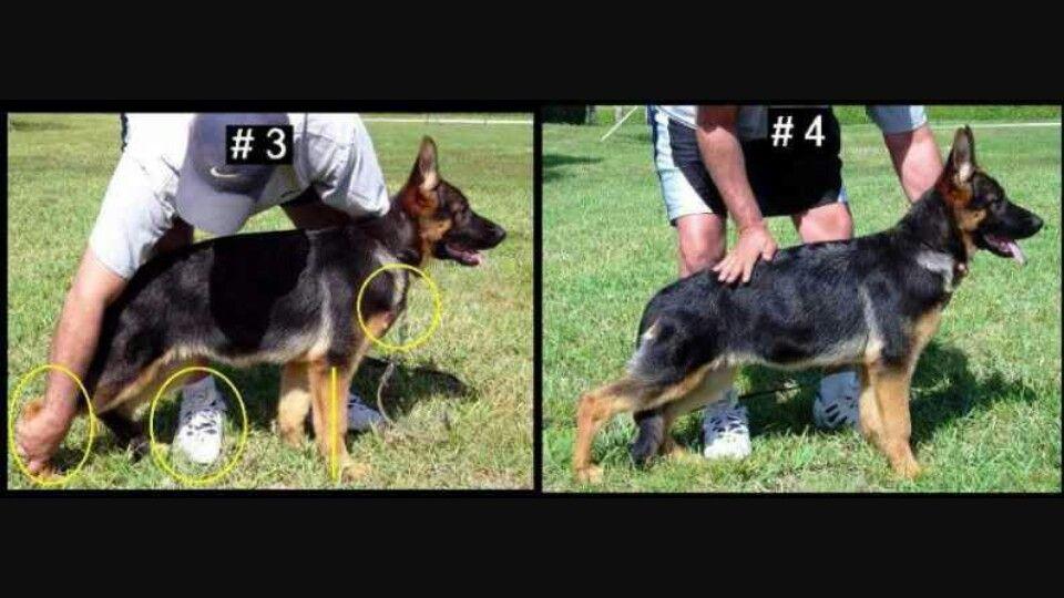 How To Stack A German Shepherd For Show German Shepherd Puppies
