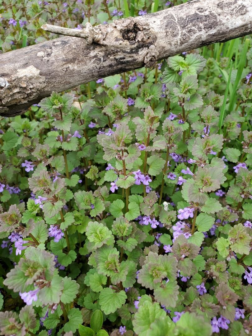 Creeping Charlie Also Known As Ground Ivy Is An Edible And Medicinal Plant It Is Part Of The Mint Family And Has In 2020 Medicinal Plants Ivy Plants Medicinal Weeds