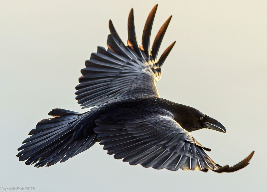 Raven Flight nude 463
