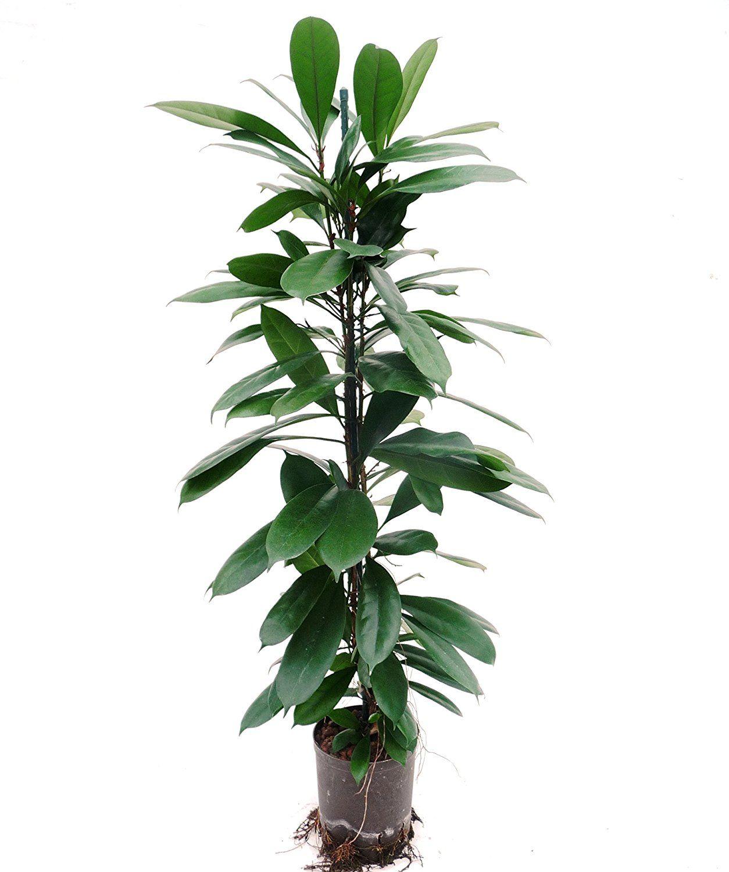 Ficus benjamini 80 100 cm in hydrokultur 15 19er kulturtopf pflegeleichte zimmerpflanze f r - Robuste zimmerpflanze ...