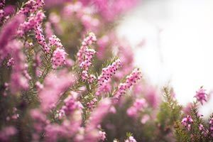 Bring Wuthering Heights To Your Garden With The Heather Shrub Heather Plant Plants Shrubs