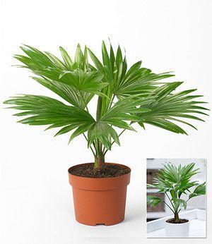 Palme Livistona Rotundifolia 1 Pflanze Pflanzen Palmen Pflanzen Palmen