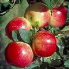 apples!!!