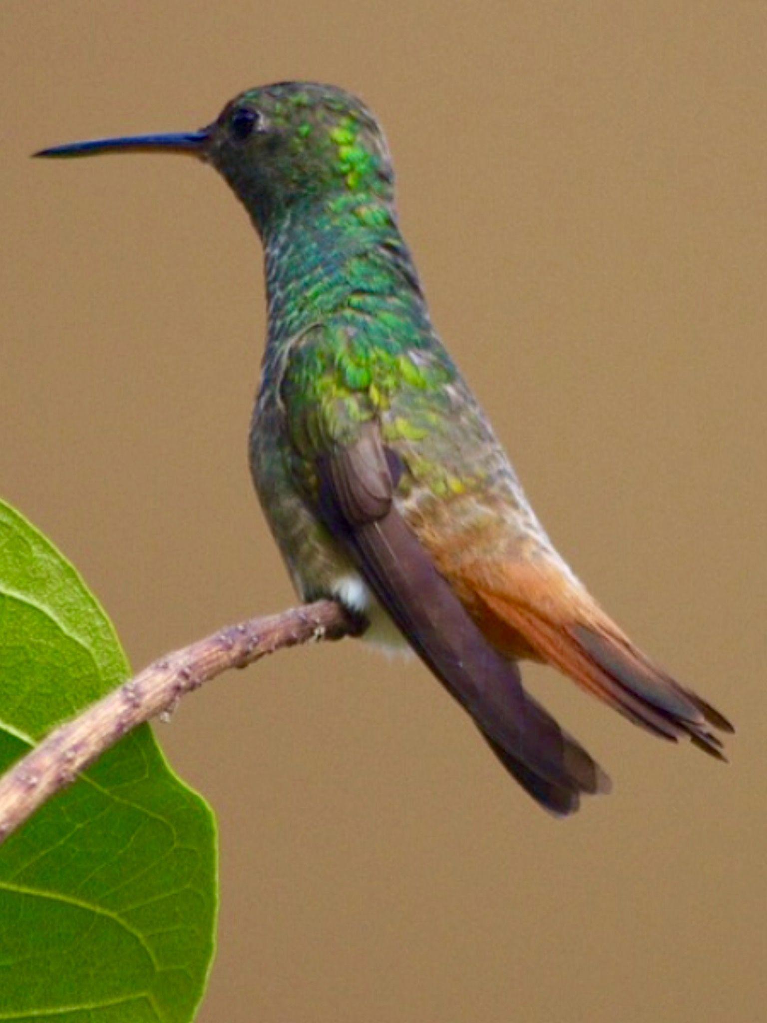 Copper-tailed Humming-bird, Saucerottia cuprei-cauda: (c) Armida Madngisa, nature-myview.com
