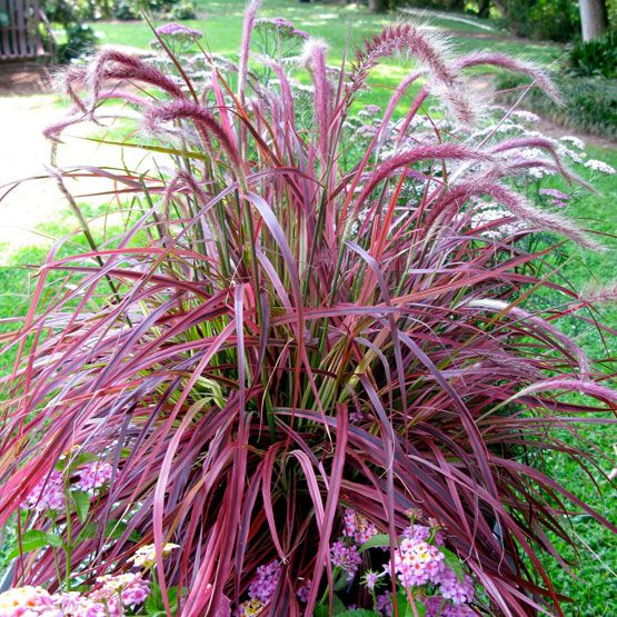 Pennisetum 39 fireworks 39 variegated purple fountain grass for Oriental grass for shade