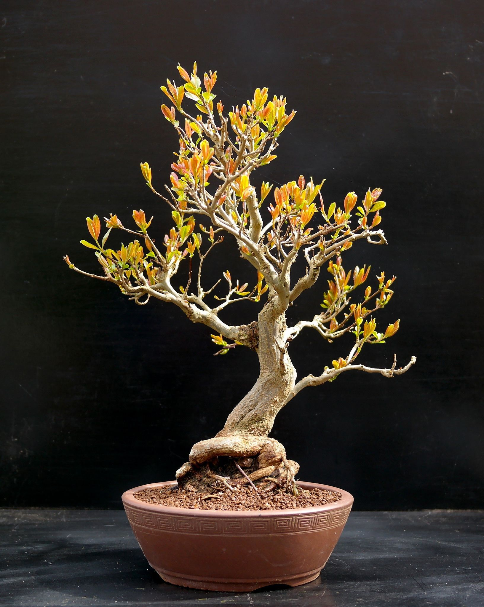 Are Bonsai Trees Easy To Take Care Of Bonsaitrees Wiring Yew