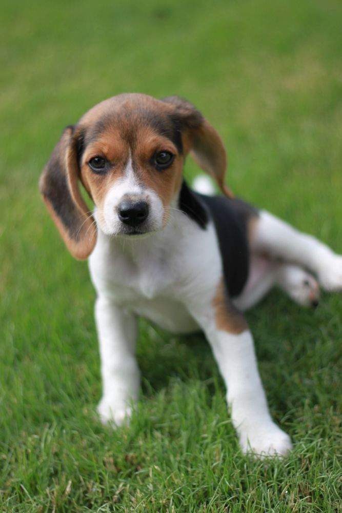 Beagle Friendly And Curious Beagle Puppy Blue Beagle Beagle