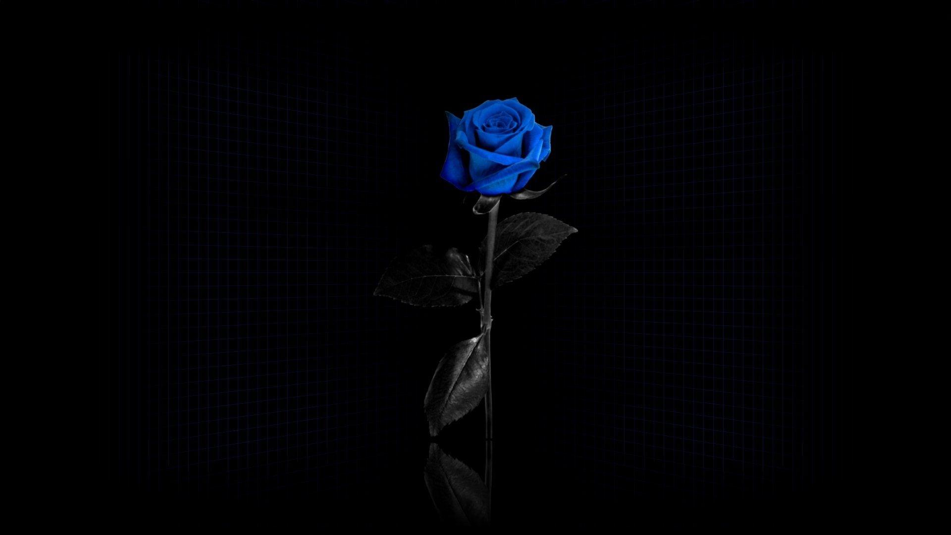 Beautiful Blue Rose On Black Background Blue Roses Wallpaper Rose Wallpaper Blue Rose Wallpaper