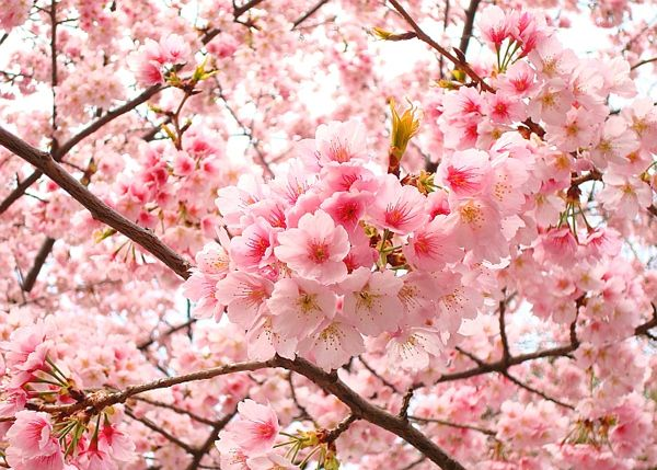 Blossoms Are Scattered By The Wind And The Wind Cares Nothing But The Blossoms Of The He Japanese Cherry Blossom Sakura Cherry Blossom Cherry Blossom Flowers