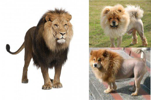 dog that looks like a lion - 520×345