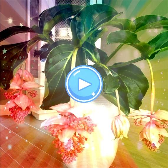 Medinilla Magnifica Flower Seeds Beautiful Bonsai Plants For Home Garden Decor  Products 30PcsPack Medinilla Magnifica Flower Seeds Beautiful Bonsai Plants For Home Garde...