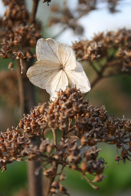 Once and future hydrangea at Riverview Park in Pittsburgh by Melissa @ Pittsburgh Parks Conservancy, via Flickr