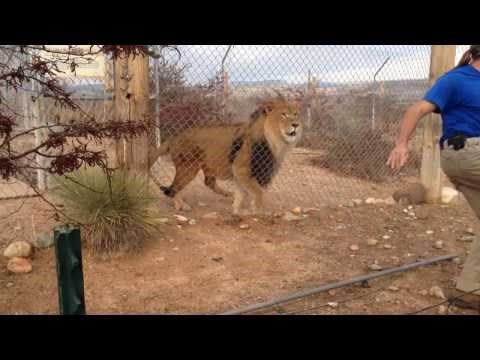 #Lion Proves a #Zookeeper's Point by Scaring the Crap out of Him http://ibeebz.com