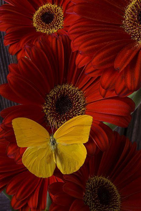 Pretty Yellow Butterfly S Izobrazheniyami Kartinki Podsolnechnika