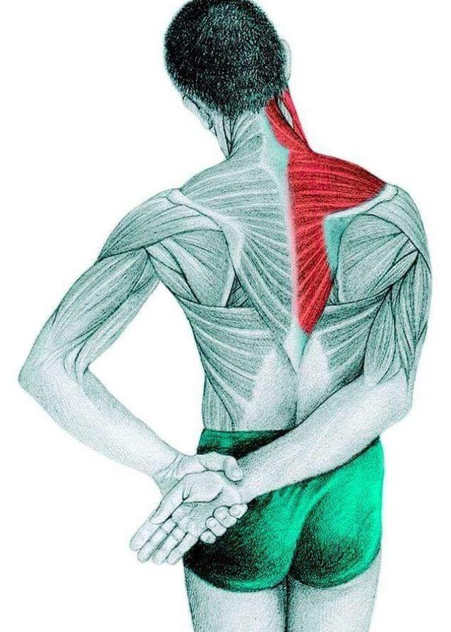 detente trapeze | Etirements musculaires, Anatomie yoga et ...
