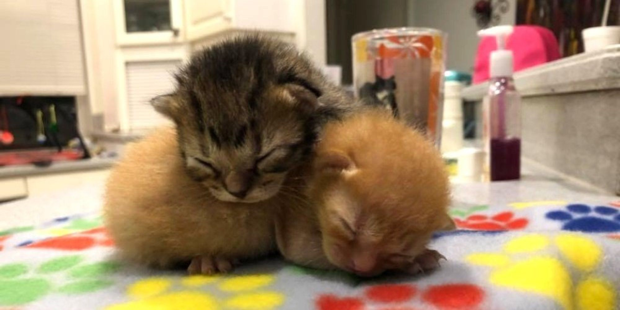 Two One Week Old Kittens Were Found Huddled Up In A Truck In A Neighborhood Of Sarasota Florida After Hours Of Waiting For Their M Kittens Cat Care Pets Cats