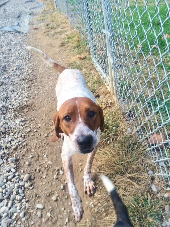 Gertie • Pointer • Adult • Female • Large •Fairmont, WV