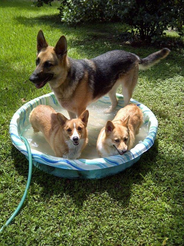 38 Things That Make Corgis Happy Cute Pinterest Corgi Dogs