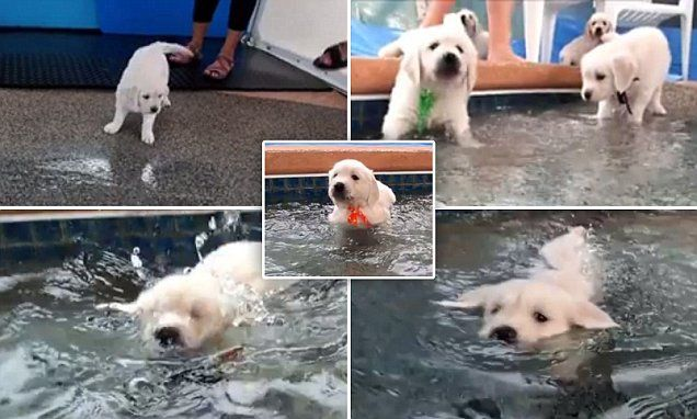 Adorable Golden Retriever Puppies Go Swimming For The First Time