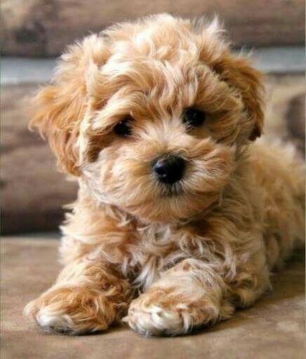 Cute Curly Puppies Puppies Fancy Dog Cute Animals