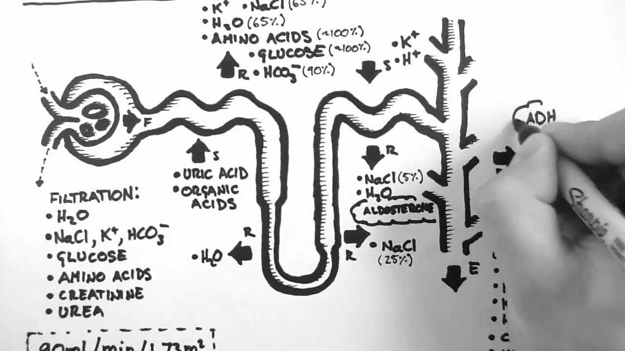 Handwritten Tutorials, renal function of a nephron. | Anatomy and ...