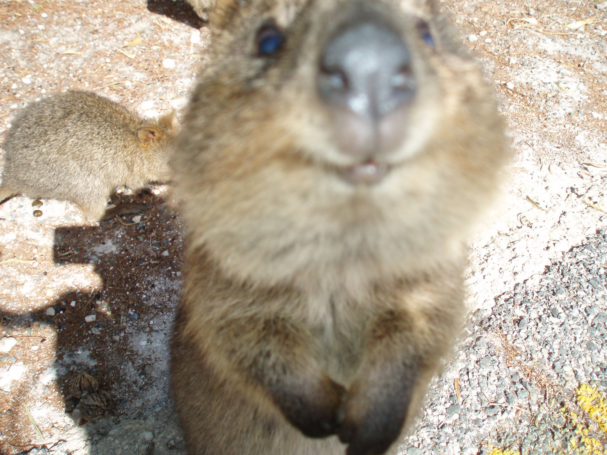 Quokka The Cutest Animal Ever Rottnest Island Australia - 15 photos that prove quokkas are the happiest animals in the world