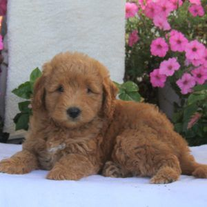 Mini Labradoodle Puppies For Sale Labradoodle Puppies For Sale