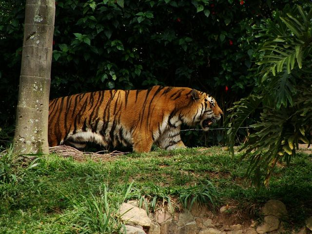 Tigre - Zoológico de São Paulo - photo by Renato Aguiar