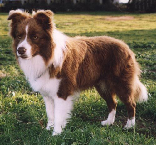 Border Collie Colors Google Search Collie Dog Pictures Red Merle Border Collie Border Collie