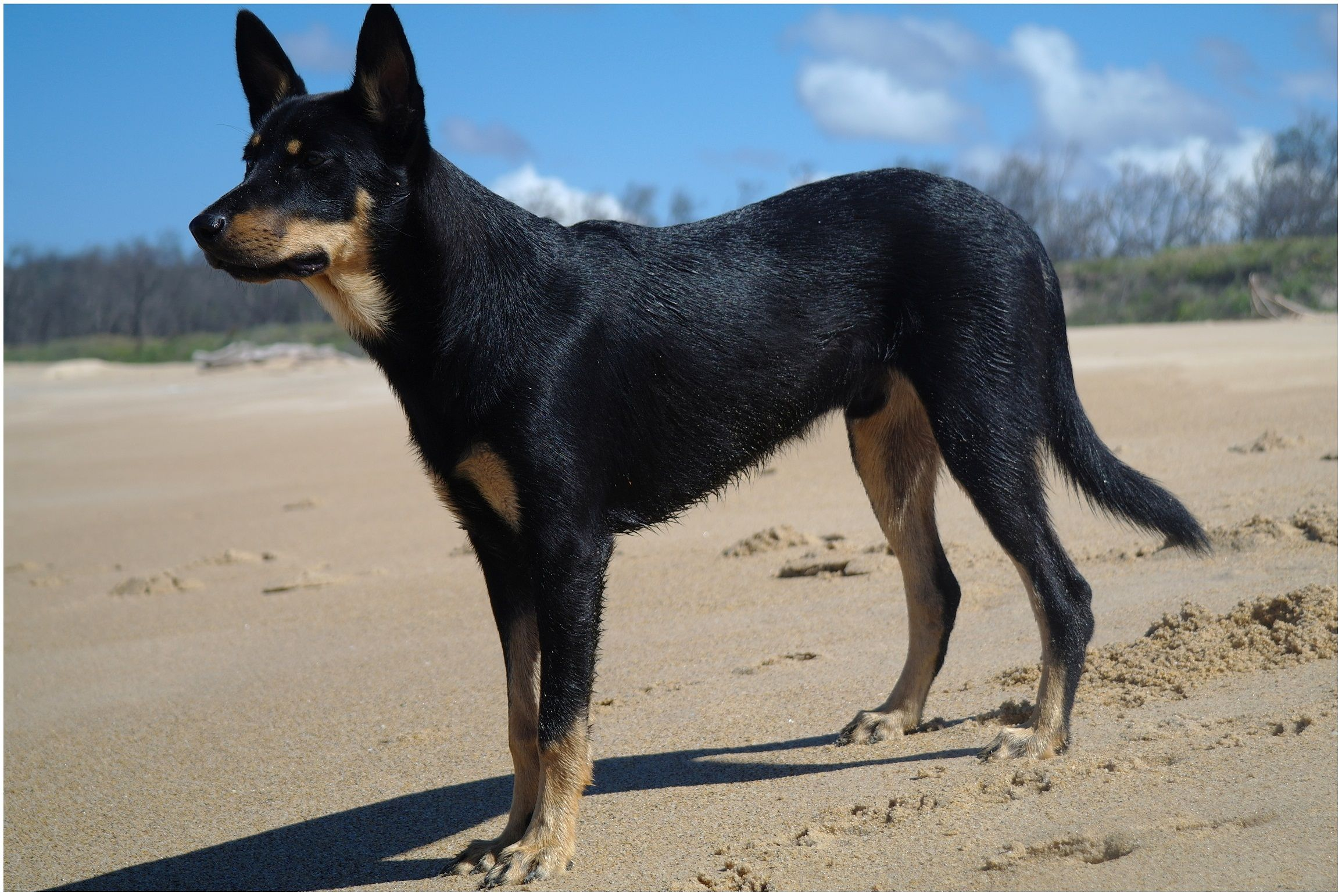 Australian Kelpie Info Puppies Mix Temperament Pictures With Images Australian Kelpie Dog Australian Dog Breeds Australian Kelpie