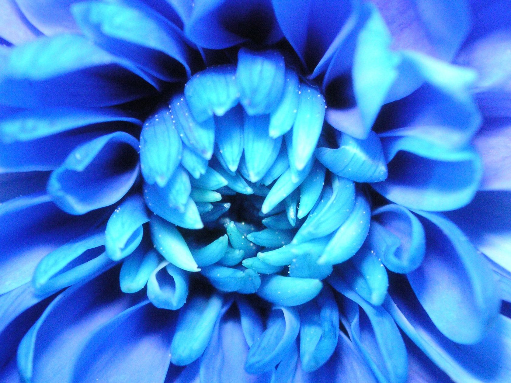 Фото незабудки цветы полевые разработке