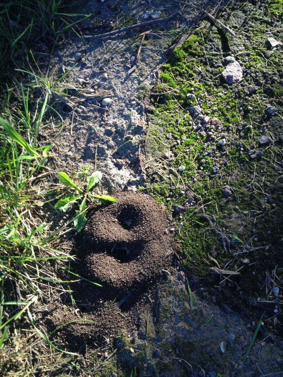 """Found An Anthill At Work That Formed A Perfect 9."""