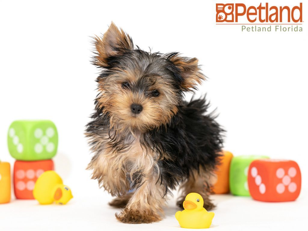 Petland Florida has Yorkshire Terrier puppies for sale
