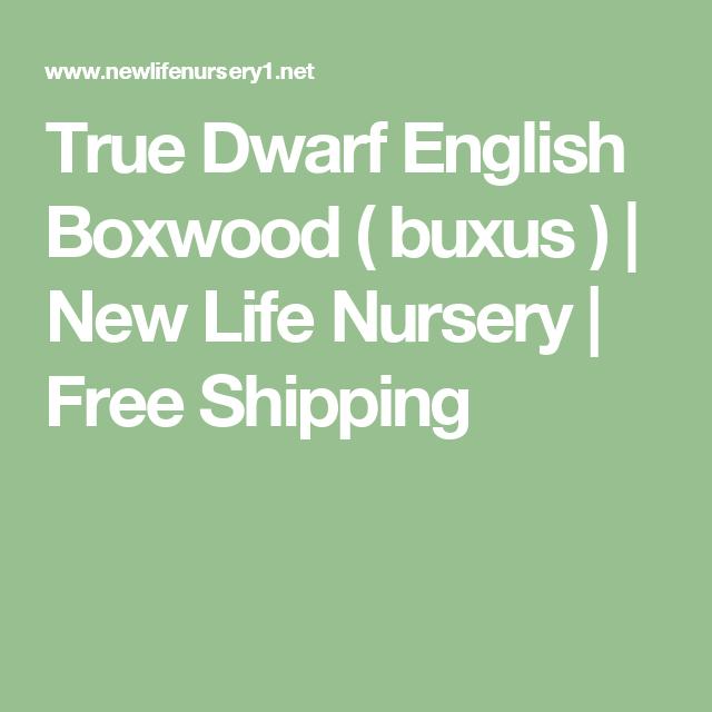 True Dwarf English Boxwood Buxus New Life Nursery