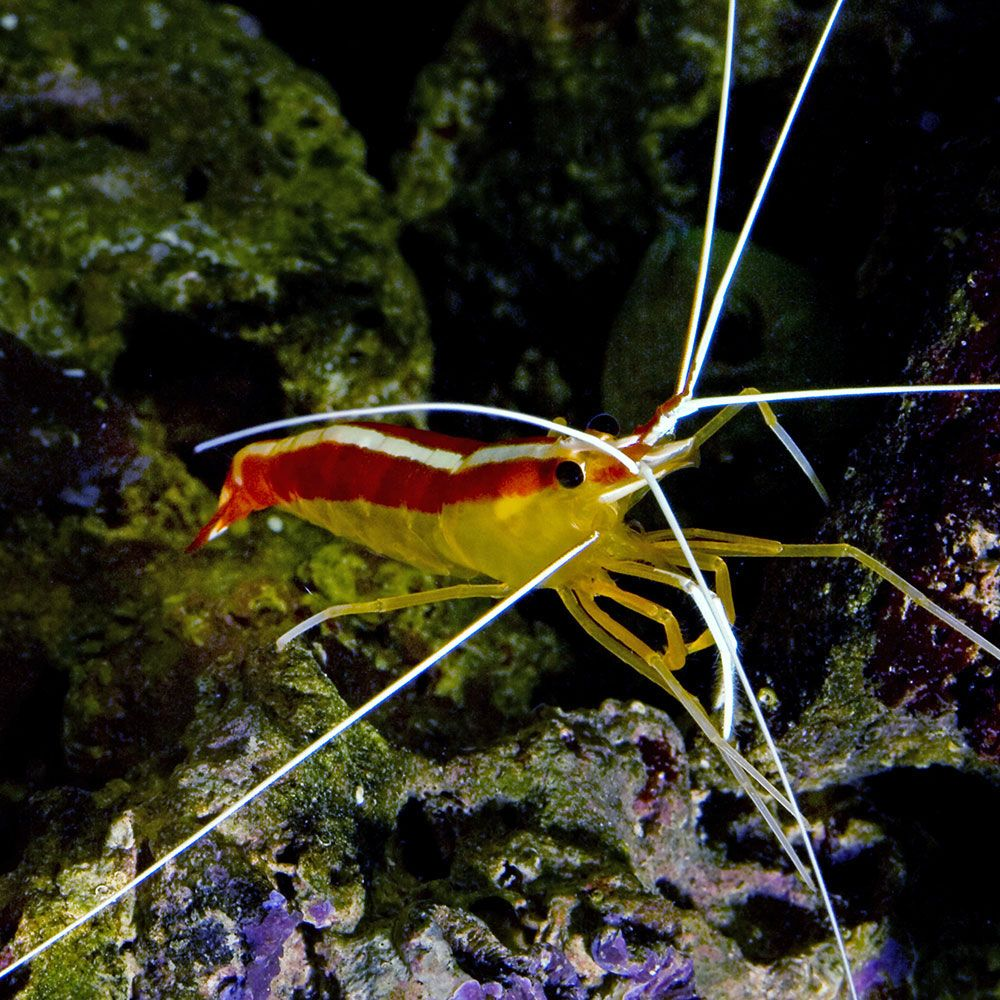 Cleaner Shrimp