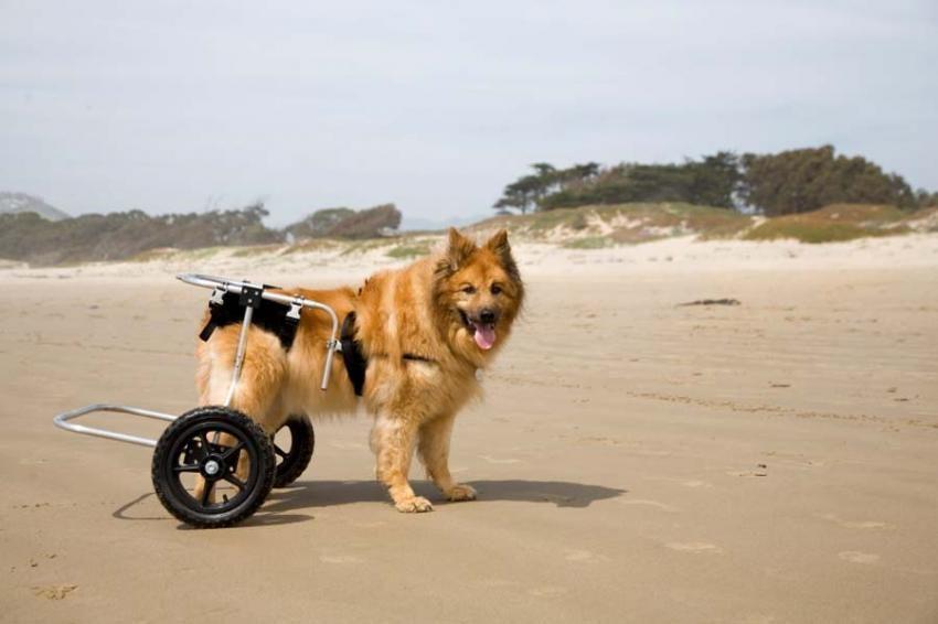 Canine Geriatric Care Hip Dysplasia Dog Illnesses Dogs