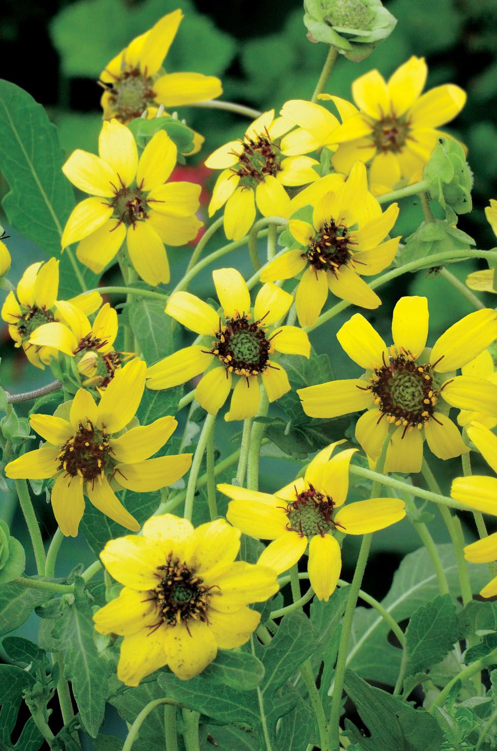 Berlandiera Yellow Flowers Appear In Summer Giving Of A Chocolate