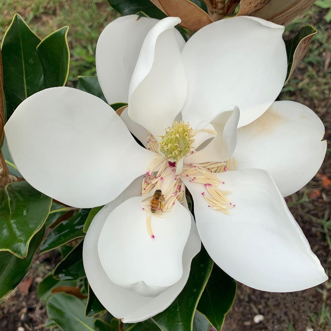 Our tiny #magnolia grandiflora has three grand flowers!🥰❤️😍 #flowers #nature #love it