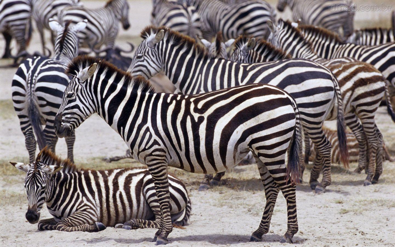 Papel De Parede Zebras Descansando Coleção Wild Africa