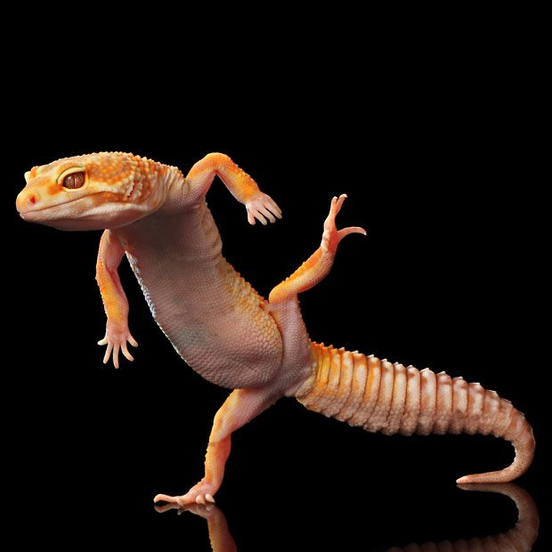 A gecko appears to be dancing in one of several pictures taken by Indonesian photographer Shikhei Goh Taken.