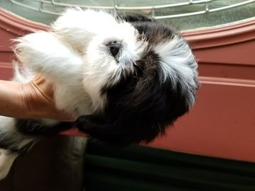 Cava Tzu Puppy For Sale In Newport Mi Adn 28898 On Puppyfinder