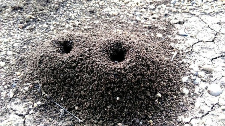 Getting Rid Of Ant Hills Find The Ant Nest Be Careful Some Ants