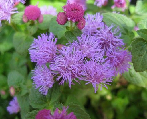 Floss Flower If You Want A Variety Of Colors To Choose From Then Here S The Plant For You Floss Mosquito Repelling Plants Mosquito Plants Mosquito Repellent