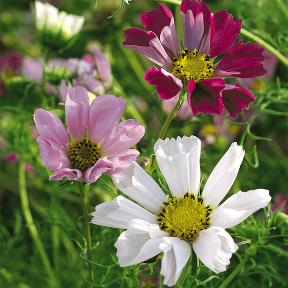 Photo Of The Actual Mixed Seashell Cosmos From Seeds Of Change No Purple Here Maybe Their Print Proofer Is Color Blind Lol Flower Seeds Flower Farm Seeds