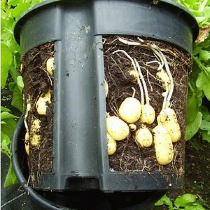 kartoffel anbau auf balkon und terrasse pflanzen pinterest garten kartoffeln pflanzen und. Black Bedroom Furniture Sets. Home Design Ideas
