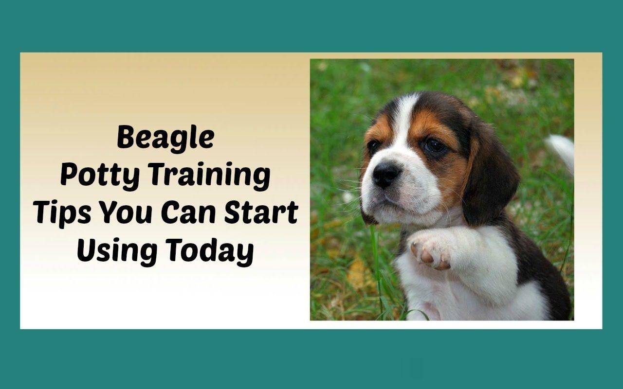 How To Potty Train A Beagle Puppy House Training A Beagle